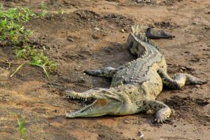 cocodrilo salvaje