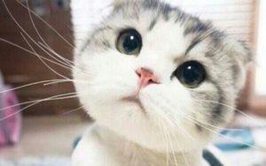 gato cabezon