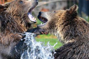 osos salvajes hd