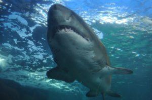 tiburón salvaje