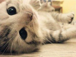 tierno gato pose kawaii