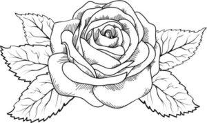 rosa real para colorear