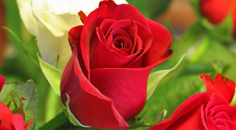 Imagenes De Flores Y Rosas Con Frases De Amor Hermosas
