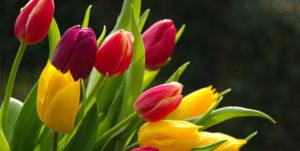 tulipanes portada